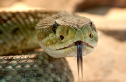 Three Ways to Deal with a Snake Bite for Outdoor Survival